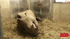 Naissance rare en direct d'un bébé rhino blanc