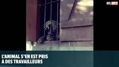 Un léopard sème la panique dans une école