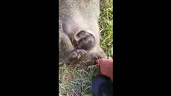 Sauvetage in extremis d'un bébé wombat