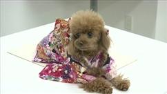 Au Japon, des chiens se parent de kimonos lors de cérémonies shintoistes