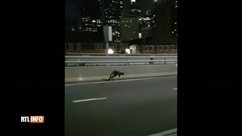 Images cocasses de la police de Syndney aux trousses d'un wallaby sur le célèbre Harbour Bridge