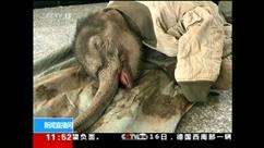 Un bébé éléphant d'un mois secouru in extremis