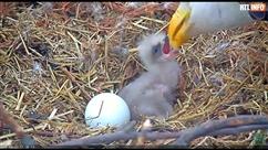 Un moment rare filmé aux USA: un pygargue à tête blanche vient de naître