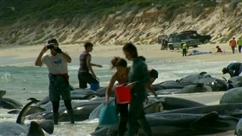 150 baleines échouées en Australie