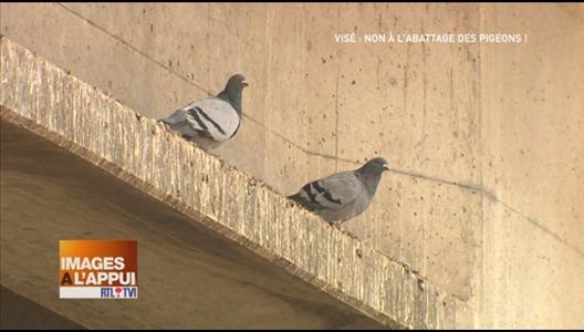 Vis non l 39 abattage des pigeons - Se debarrasser des pigeons ...