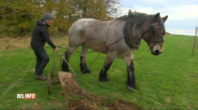 cheval de trait brabant wallon