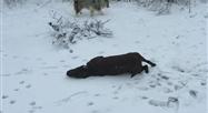 Neige: ce chien s'adonne aux joies de la glisse à Silenrieux (Namur)