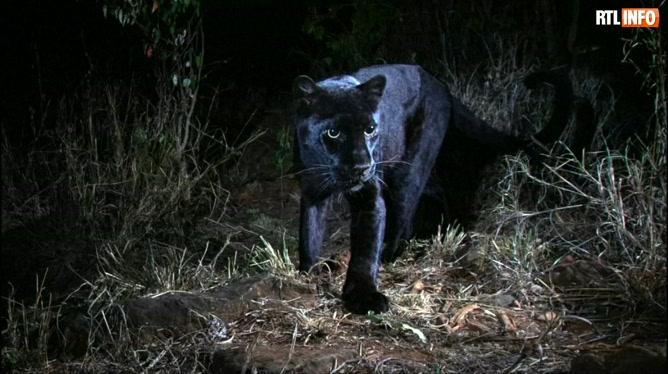 d435e45c2c4 Premières photos de la panthère noire en Afrique depuis 1909