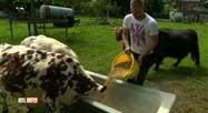 Hamoir: une habitante porte plainte contre le bruit des vaches