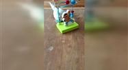 Une calopsitte joue avec un boulier