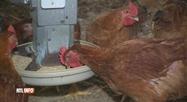Un élevage de poulets bio saccagé à Eghezée