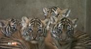 Quatre bébés tigres du Bengale sont nés en Chine