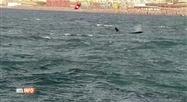 Trois orques filmées au large des côtes italiennes