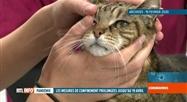 Un patient porteur du coronavirus a infecté son chat