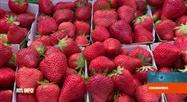 Coronavirus en Belgique: la récolte des fraises est compliquée cette année