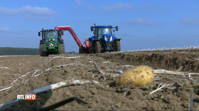 Mauvaise récolte de pommes de terre en raison de la sécheresse