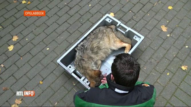 Un nouveau louveteau retrouvé mort sur une route nationale du Limbourg