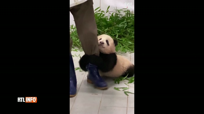 Ce bébé panda fait FONDRE les internautes: Fu Bao s'accroche aux jambes de son soigneur