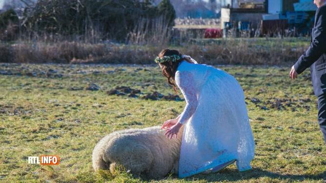 Le jour de son mariage, elle sauve une brebis coincée sur le dos: