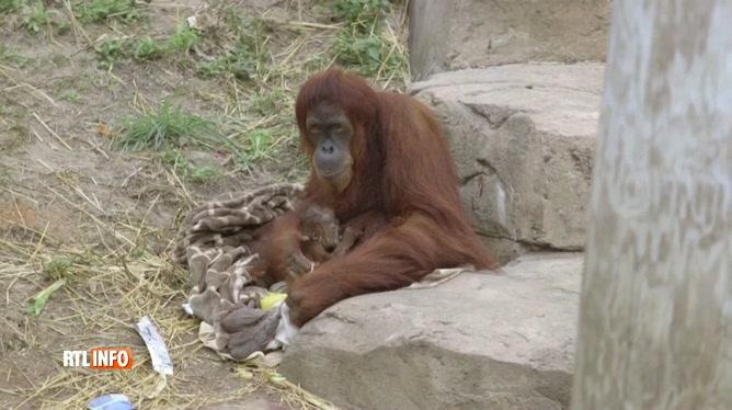 Etats-Unis : Naissance d'un bébé orang-outan de Sumatra dans un zoo de la Nouvelle-Orléans