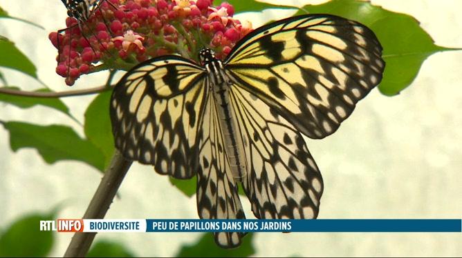 Les papillons sont de moins en moins nombreux chez nous